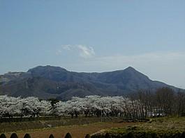 茂吉記念館の桜と三吉山(右)・葉山(左)